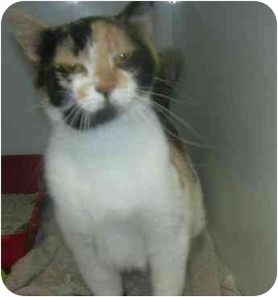 Calico Cat for adoption in West Warwick, Rhode Island - April