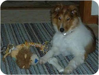 Collie Mix Puppy for adoption in Minneapolis, Minnesota - Masie