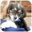 Photo 4 - Australian Shepherd Mix Puppy for adoption in Mt. Prospect, Illinois - Pecan Pie