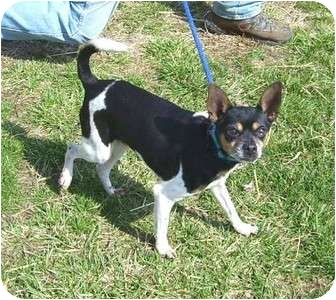 Rat Terrier/Chihuahua Mix Dog for adoption in Metamora, Indiana - Herbie