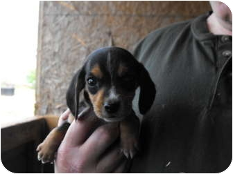 Beagle/Beagle Mix Puppy for adoption in Wilminton, Delaware - Tiny Tim