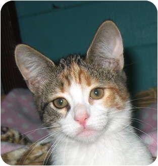 Domestic Shorthair Kitten for adoption in Santa Barbara, California - Cimeron
