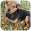 Photo 1 - Chihuahua/Feist Mix Dog for adoption in Staunton, Virginia - Twix