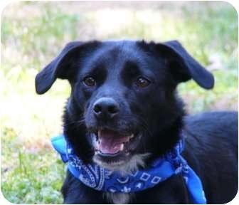 Border Collie/Manchester Terrier Mix Dog for adoption in Mocksville, North Carolina - Payton