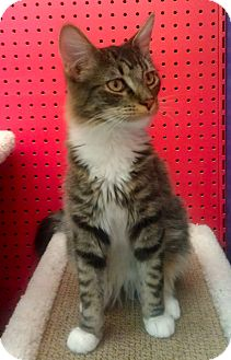 Domestic Mediumhair Cat for adoption in Phoenix, Arizona - Dirk