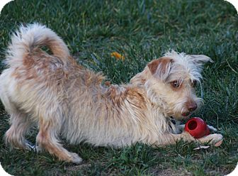 Cairn Terrier/Dachshund Mix Dog for adoption in Mission Viejo, California - RILEY