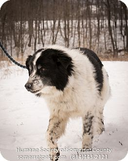 Border Collie/Shepherd (Unknown Type) Mix Dog for adoption in Somerset, Pennsylvania - Marcel