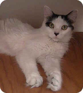 Domestic Mediumhair Cat for adoption in Overland Park, Kansas - Honey