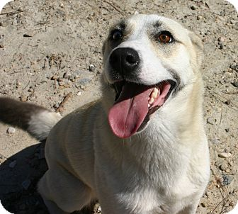 Shepherd (Unknown Type)/Husky Mix Dog for adoption in Pinehurst, North Carolina - Foxie