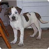 Adopt A Pet :: Capone - Chandler, IN