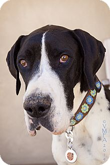 Great Dane Dog for adoption in Albuquerque, New Mexico - Gypsy