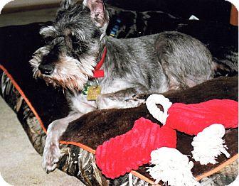 Miniature Schnauzer Dog for adoption in Sharonville, Ohio - Duncan
