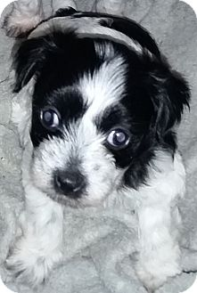 Spaniel (Unknown Type) Mix Puppy for adoption in Encino, California - Lulu - Gemma pup