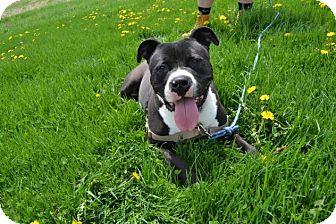 Pit Bull Terrier Mix Dog for adoption in East Smithfield, Pennsylvania - Clark Kent