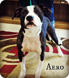 Pit Bull Terrier Mix Dog for adoption in Defiance, Ohio - Areo
