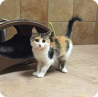 Domestic Mediumhair Kitten for adoption in Plymouth Meeting, Pennsylvania - Lillian