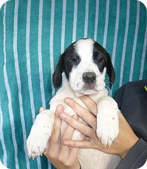 German Shorthaired Pointer/Labrador Retriever Mix Puppy for adoption in Oviedo, Florida - Kenny