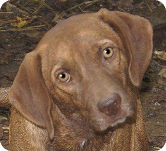Labrador Retriever/Hound (Unknown Type) Mix Dog for adoption in Allentown, Pennsylvania - Romeo