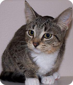 Siamese Cat for adoption in Libertyville, Illinois - Tabitha