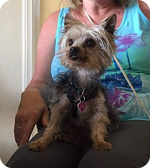Yorkie, Yorkshire Terrier Dog for adoption in Fountain Valley, California - Axl