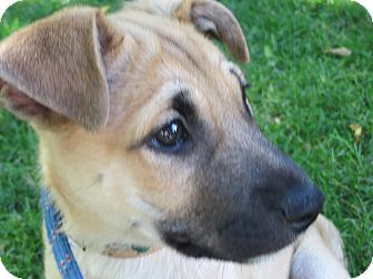 German Shepherd Dog/Terrier (Unknown Type, Small) Mix Puppy for adoption in Saint Paul, Minnesota - Charleston