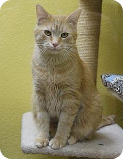 Domestic Shorthair Cat for adoption in Benbrook, Texas - Rudy
