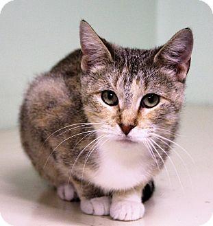 Domestic Shorthair Cat for adoption in Murphysboro, Illinois - Peggy Carter