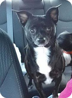 Chihuahua Dog for adoption in Cincinnati, Ohio - Tiny