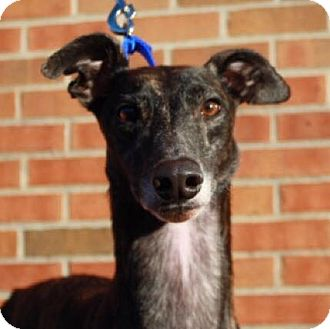 Greyhound Mix Dog for adoption in Aurora, Indiana - Toots