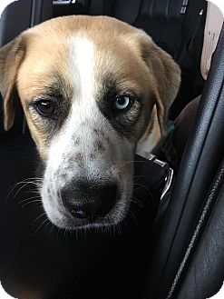 Shepherd (Unknown Type)/Hound (Unknown Type) Mix Dog for adoption in East Windsor, Connecticut - Awesome Scout -Watch my VIdeo!