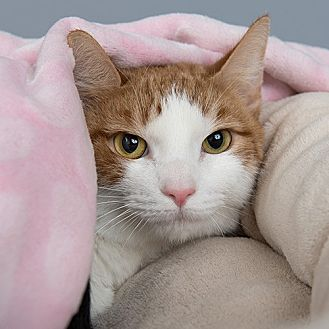 Domestic Shorthair Cat for adoption in Wilmington, Delaware - Ozie