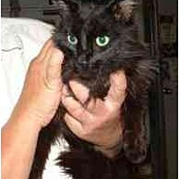 Domestic Longhair Cat for adoption in Hawk Springs, Wyoming - Win the Lotto
