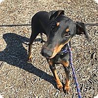 Adopt A Pet :: Ava - Fillmore, CA