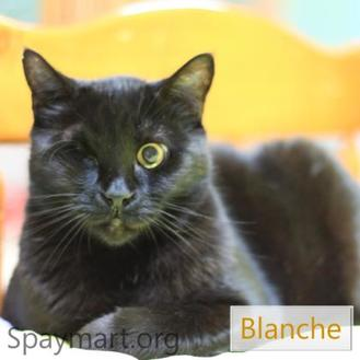 Domestic Shorthair/Domestic Shorthair Mix Cat for adoption in Metairie, Louisiana - Blanche