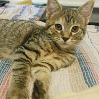 Adopt A Pet :: Rose - Reston, VA