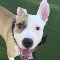 Adopt A Pet :: *BOBO - Las Vegas, NV