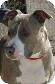 American Pit Bull Terrier Mix Dog for adoption in Walker, Michigan - Angel