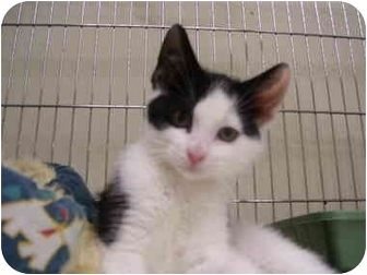 Domestic Shorthair Kitten for adoption in Mission, British Columbia - Cthulhu