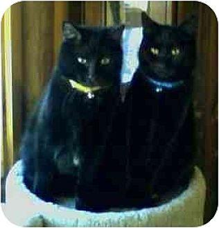 Domestic Shorthair Cat for adoption in Trexlertown, Pennsylvania - Midnight
