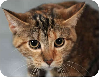 Domestic Shorthair Kitten for adoption in Chicago, Illinois - Turtle
