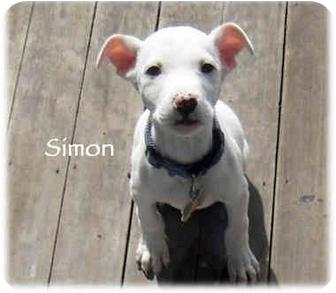 Dalmatian/Labrador Retriever Mix Puppy for adoption in Mandeville Canyon, California - Simon