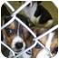 Photo 3 - Beagle/Basset Hound Mix Puppy for adoption in Cincinnati, Ohio - Baby Beagles!
