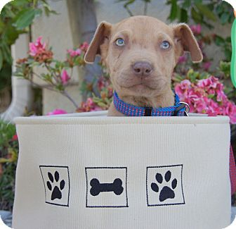 Vizsla/Terrier (Unknown Type, Small) Mix Puppy for adoption in Thousand Oaks, California - Louie