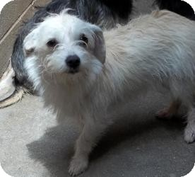 Terrier (Unknown Type, Small)/Yorkie, Yorkshire Terrier Mix Dog for adoption in Gaffney, South Carolina - Sherryc