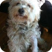 Maltese/Poodle (Standard) Mix Dog for adoption in Encino, California - Jordan II