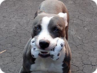 American Pit Bull Terrier Mix Dog for adoption in Wethersfield, Connecticut - Goober