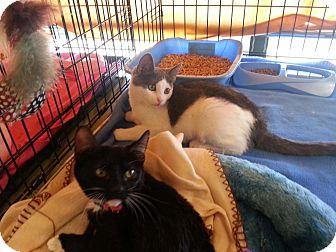 American Shorthair Kitten for adoption in Palm desert, California - Hope