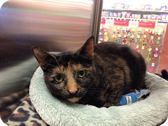 Domestic Shorthair Cat for adoption in Freehold, New Jersey - Ezzy