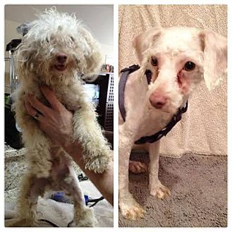 Poodle (Miniature) Mix Dog for adoption in Wethersfield, Connecticut - Thatcher (Adoption Pending)