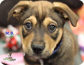 Shepherd (Unknown Type)/Labrador Retriever Mix Puppy for adoption in Alpharetta, Georgia - M.B.